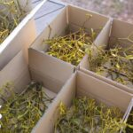 箱に詰めたヤドリギの枝