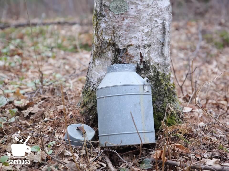 シラカバの樹液を採取中