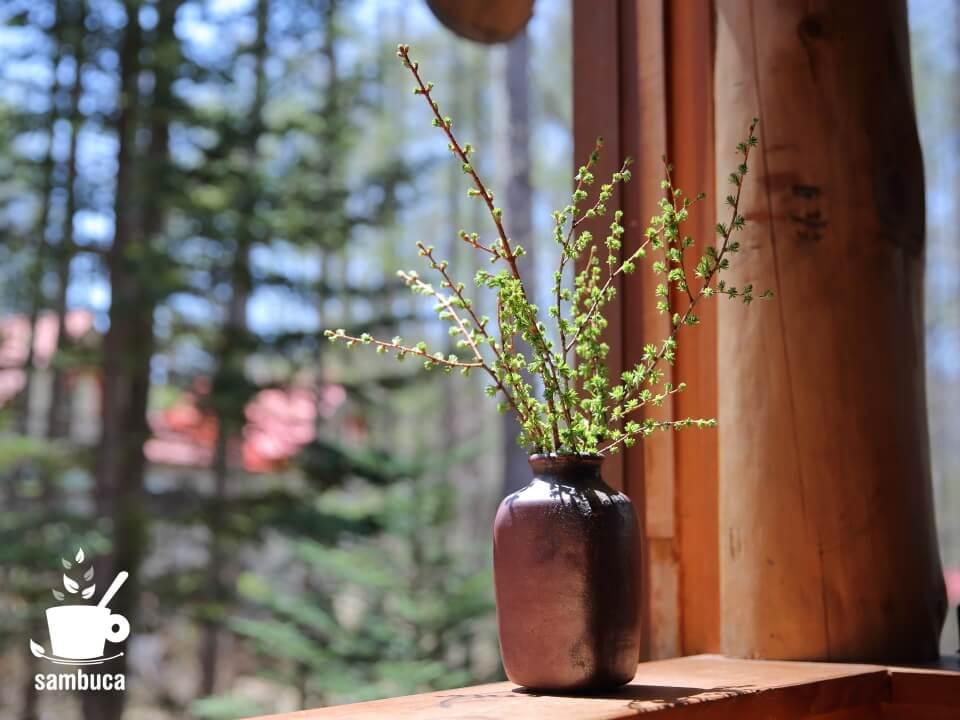 芽吹いたカラマツを花瓶に