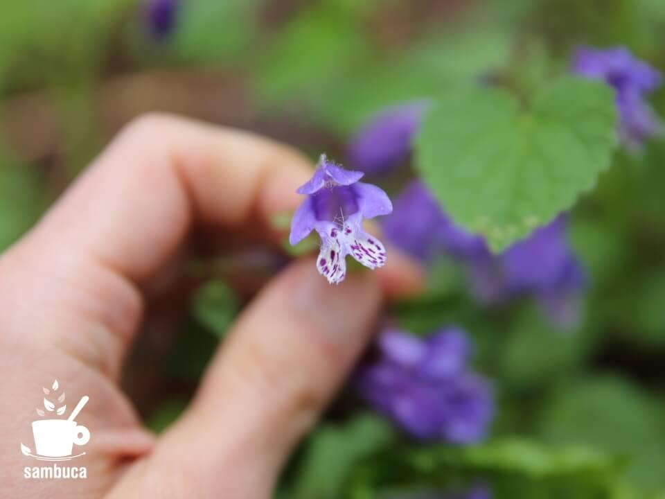良い香りがする、ラショウモンカズラの花