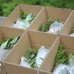カラマツ林の植物たちを発送しました