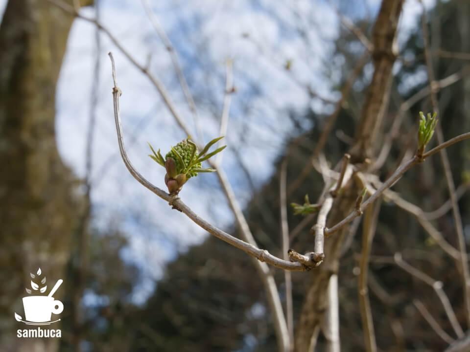 ニワトコの若芽