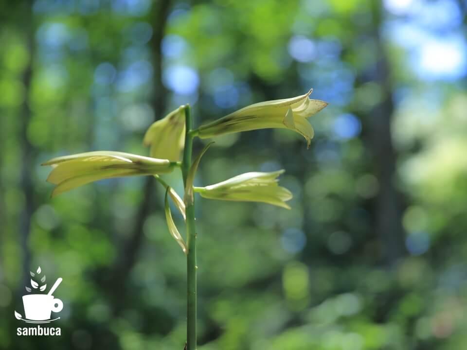 ウバユリの花