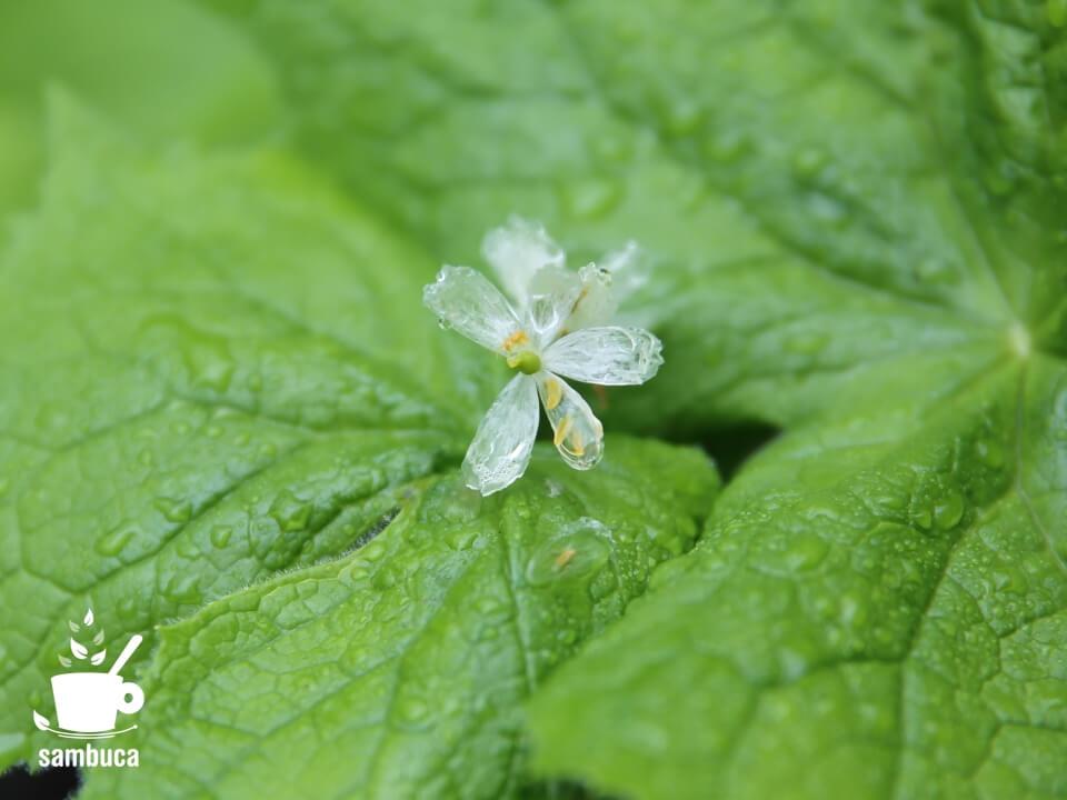 サンカヨウの花(かなり透明)
