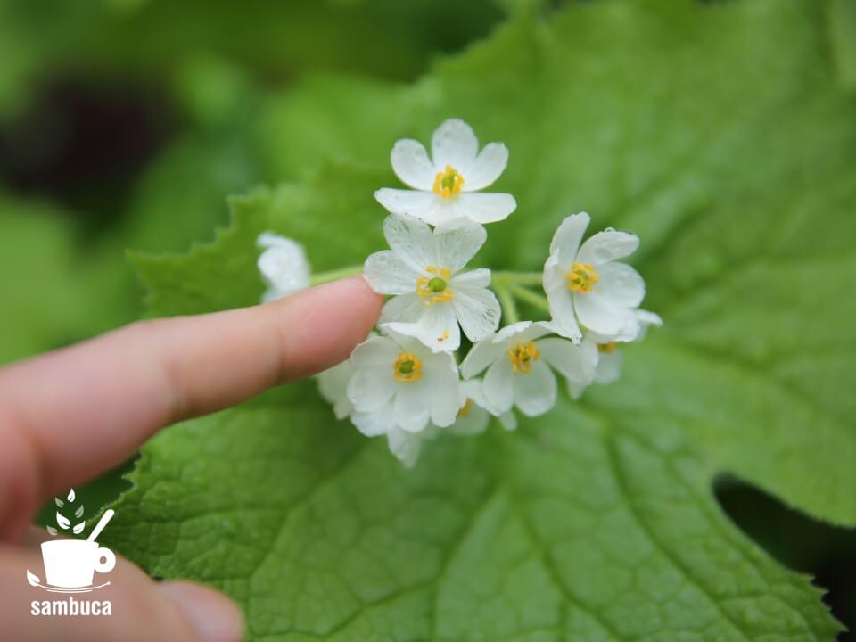 サンカヨウの花(少し透明)