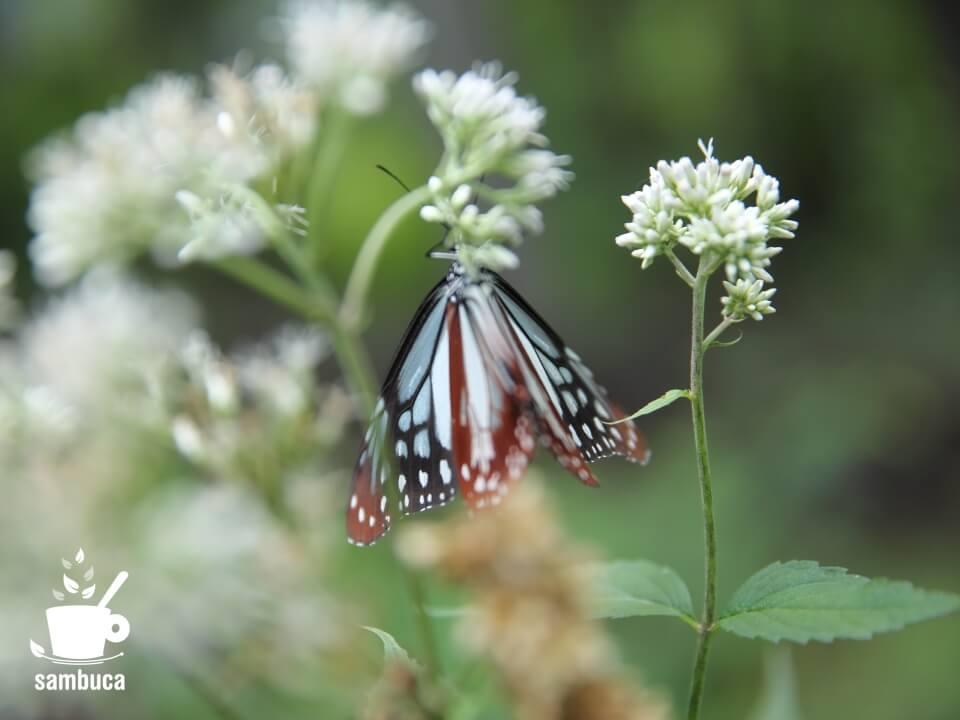 旅を数千㎞もの距離を移動する蝶・アサギマダラする蝶・アサギマダラ