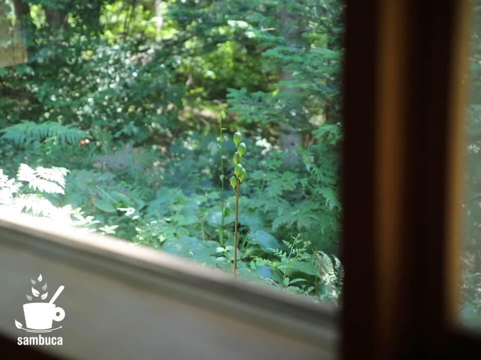 窓から見えるウバユリの実
