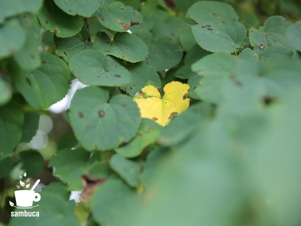 黄葉したカツラの木の葉