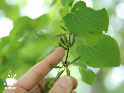 カツラの木の実