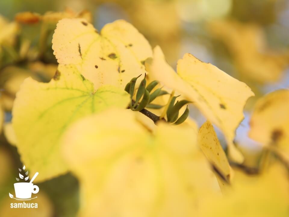 カツラの木の黄葉と緑色の実