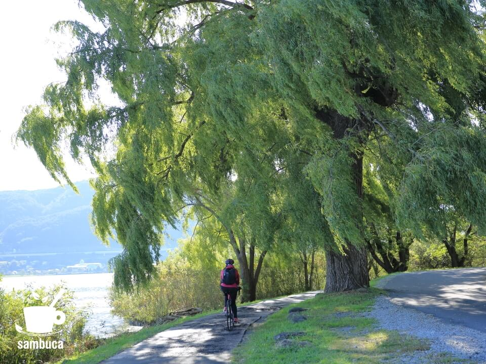 諏訪湖畔のシダレヤナギの大木