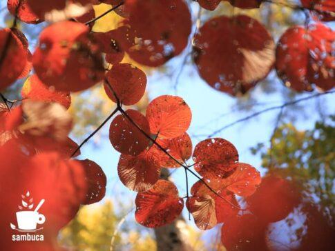 紅葉したオオカメノキの葉